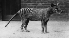 Is the Tasmanian Tiger Extinct? Recovered Footage of the Last Known Thylacine Released from 1935 While Claims of Sightings Still Occur