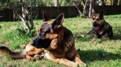 Belgian Shepherds Can Tell if You Have Coronavirus by Smelling Your Armpit