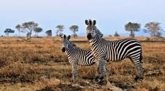 Zebras in Mikumi