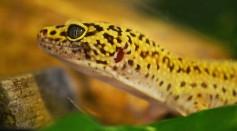 Coffee Please: Caffeine Helps Save Threatened Species of Lizards