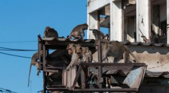 6,000 Macaques Have Taken Over A Thai City