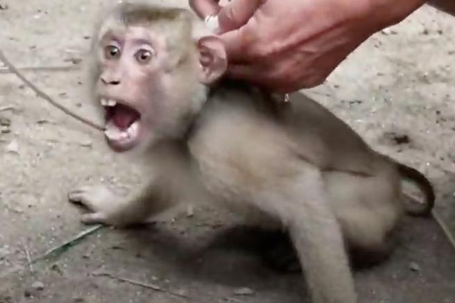Siêu thị Anh dừng bán sản phẩm dừa bị thu hoạch bởi nô lệ khỉ Thái