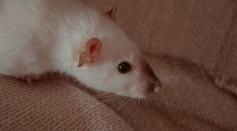lab mice euthanasia