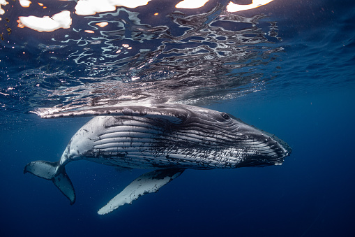 How Does a 33-Foot Humpback Whale Drown? - Science Times