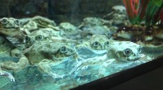 Lake Titicaca Frogs in Denver Zoo