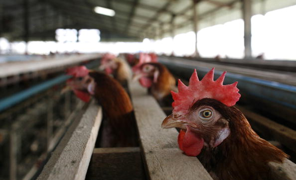 Bird Flu Increases The Threat To Chicken Farmers Livelihoods