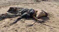 The Uknknown Creature on UK's Merseyside Beach