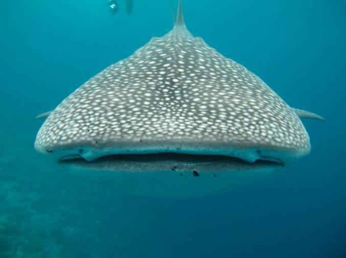 Sự tiến hóa của cá mập thiên thần giải thích nguy cơ tuyệt chủng của chúng