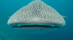 The Evolution of Angel Sharks Explain Their Risk of Extinction