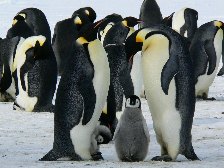 11 thuộc địa chim cánh cụt hoàng đế mới được phát hiện từ không gian