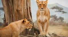 Cave Lions and Modern-Day Lions Are Separate Species
