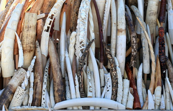 U.S. Fish And Wildfire Service Destroy Six Tons Of Confiscated Ivory