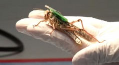 Scientists Are Making Bomb-Sniffing Bugs Inspired From Locust's Ability To Smell and Trace Explosives
