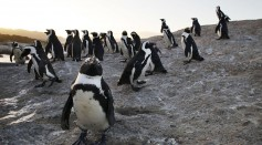 Bunkering Activity in Algoa Bay Are a Major Threat to African Penguin Populations