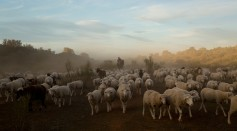 Autumn Sheep's Transhumance in Spain
