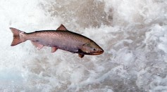 Chinook Salmon Leaps Through White Water May 17 2001 In The Rapid River In Idaho As It