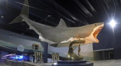 New Study Reveals the Real Size of Megalodon Shark