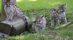 California Cougars Are Showing Genetic, Physical Distortions