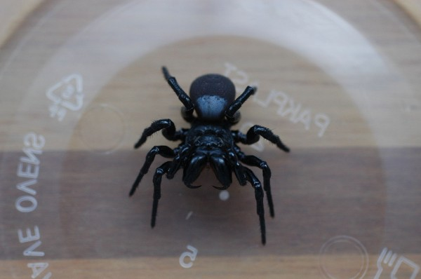 Woman Horrified To Find 20 Venomous Mouse Spiders on Her Pool