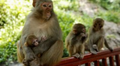 The Macaque Population in Lopburi, Thailand Have Increased to Nearly 9,000 Monkeys
