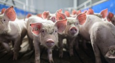 Swine Coronavirus SADS-CoV May Be Deadly for Humans As Well