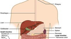 An Illustration of the Human Digestive Tract