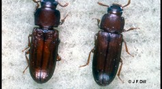 Flour Beetle Experiment Represents How Ecology is Affected By Invasive Species and Shifting Habitats