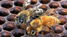 Genetic Study of Honeybees May Help Beekeepers Breed Species for Desirable Traits