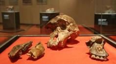 The cranium of an Australopithecus africanus