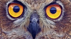 Unique DNA in Owl Eyes Give Them Night Vision to Rule the Dark