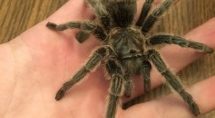Thousands of Male Tarantuals Will Be Migrating Across Roads to Find Mates