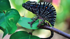 Voeltzkow's Chameleon Reappears After a Century of Being Labeled as Extinct