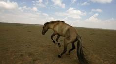 A Horse Jumps at the Grassland