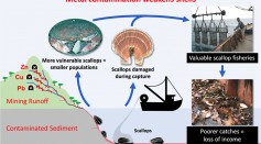 Metal Pollution From Mining Are Weakening Scallops and Damaging Marine Ecosystem