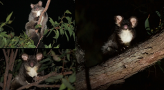 Genetic Evidence Confirms Two New Greater Glider Species