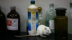 Science Times - Rats And Mice In A Medical School Laboratory