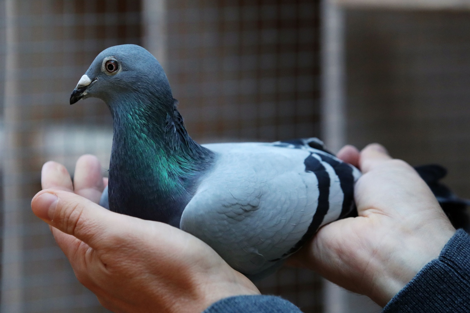 Meet New Kim: The Pigeon Sold at a Whopping $1.9 Million