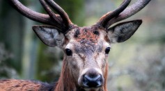 Sexual Aggression in Non-Human Mammals Might Be Costly for Females, Study Shows