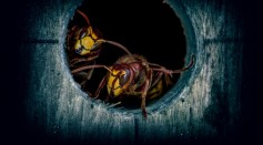Science Times - Australian Wasp Shown to Pose Serious Danger to Aviation Safety