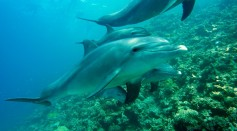 Dolphins Control Their Heart Rates to Avoid Decompression Sickness