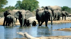 Elephants For Sale: Drought-Stricken Namibia Auctions 170 Wild Elephants