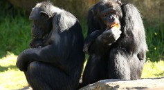Science Times - Great Apes Are Prone To Getting COVID-19 Infection, Here's How Researchers Are Protecting Them