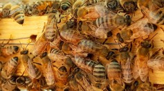 Poop Power? Honeybees Found A New Way to Defend Themselves Against Murder Hornets