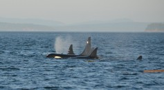 Using AI To Save Endangered Killer Whales: How Will It  Be Done?