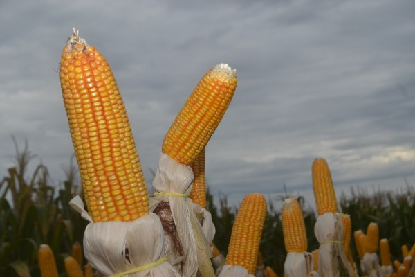 Science Times - 9,000-Year History of Corn Unveiled