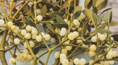 Science Times - Mystery Behind Missing Genes of the Mistletoe Revealed