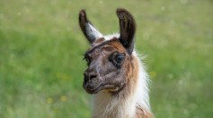 Science Times - Neuroscientists Isolate Promising Tiny Antibodies Produced by a Llama in Fight Against COVID-19