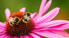 Science Times - New Study Reveals Large Bumblebees Learn the Best Flowers' Spots