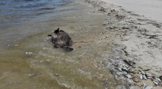 Science Times - Toxic Red Tide On Florida's Southwest Coast Killing Hundreds Of Turtles And Fish