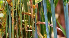 Science Times - Scientists Develop Wheats Capable of Resisting a New Strain of Rust Disease